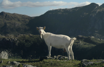 Tine / Goat